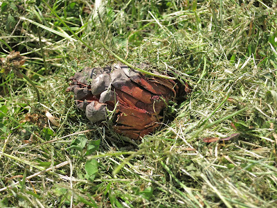 Mangled Pine Cone on cut grass