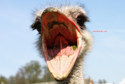 Deskripsi Burung Unta Tempat Hidup Makanan Reproduksi Jenis Burung Unta