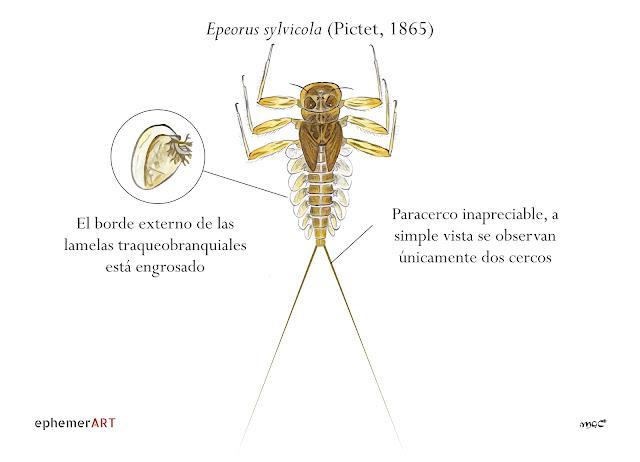 Epeorus%2Bsylvicola%2Bninfa%2Bvector - Heptagénidos: como diferenciar géneros