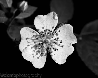 http://www.redbubble.com/people/dlamb/works/15154866-wild-rose-black-sunshine-iv