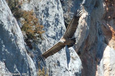 Voltor comú a Sopeira