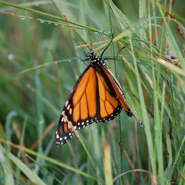 monarch butterfly in pasture