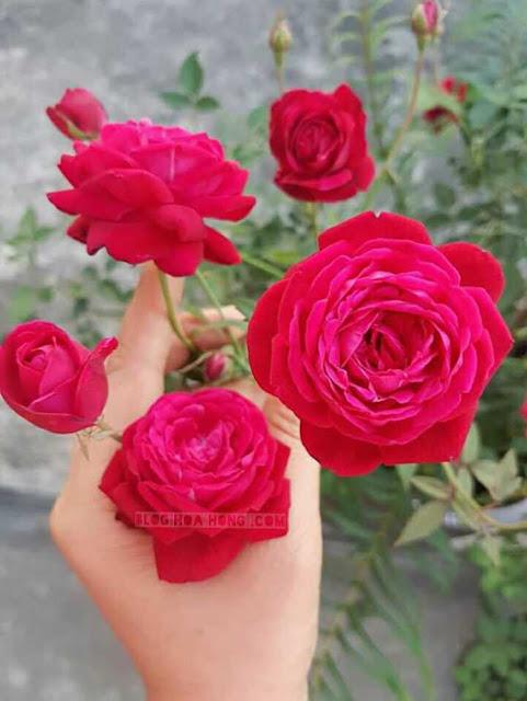 hoa hồng quế kép đỏ