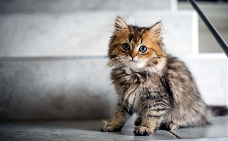 What Is Coronavirus in Cats?