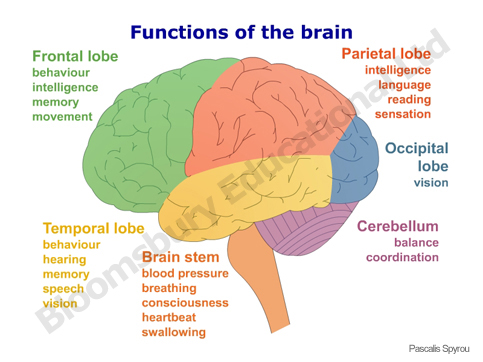 Cracking The Biology Coconut: Brain Components