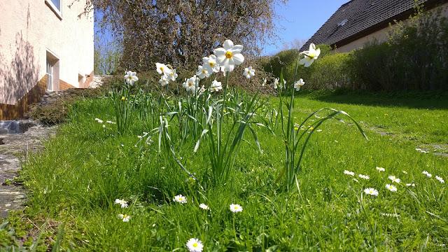 weiße Narzissen im Rasen (c) by Joachim Wenk