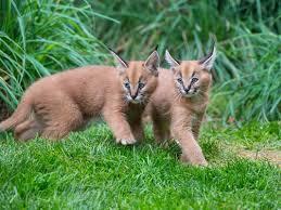 kucing caracal kucing paling eksotis di dunia-8