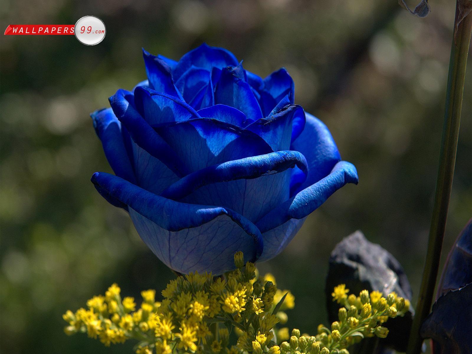 Yellow wallpaper blue rose hd wallpaper free download - Blue rose hd wallpaper download ...