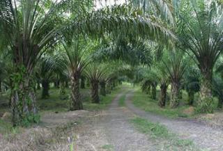 Manfaat dan Keunggulan Tanaman Kelapa Sawit