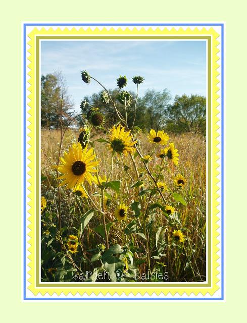 Garden of daisies sunflowers - Home and garden show overland park ...
