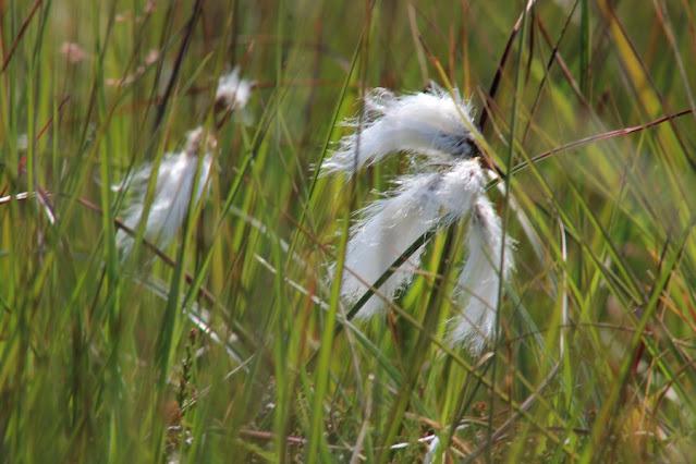Bog Cotton Ballycroy