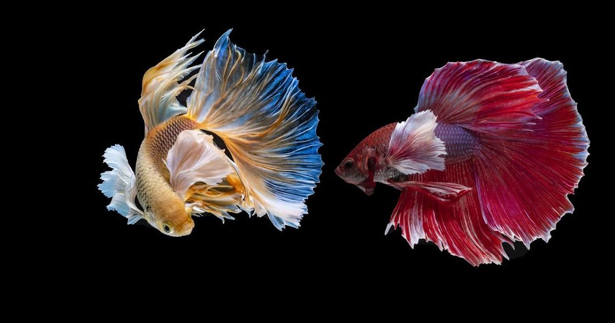 Merawat Ikan Cupang, Lakukan dengan Benar