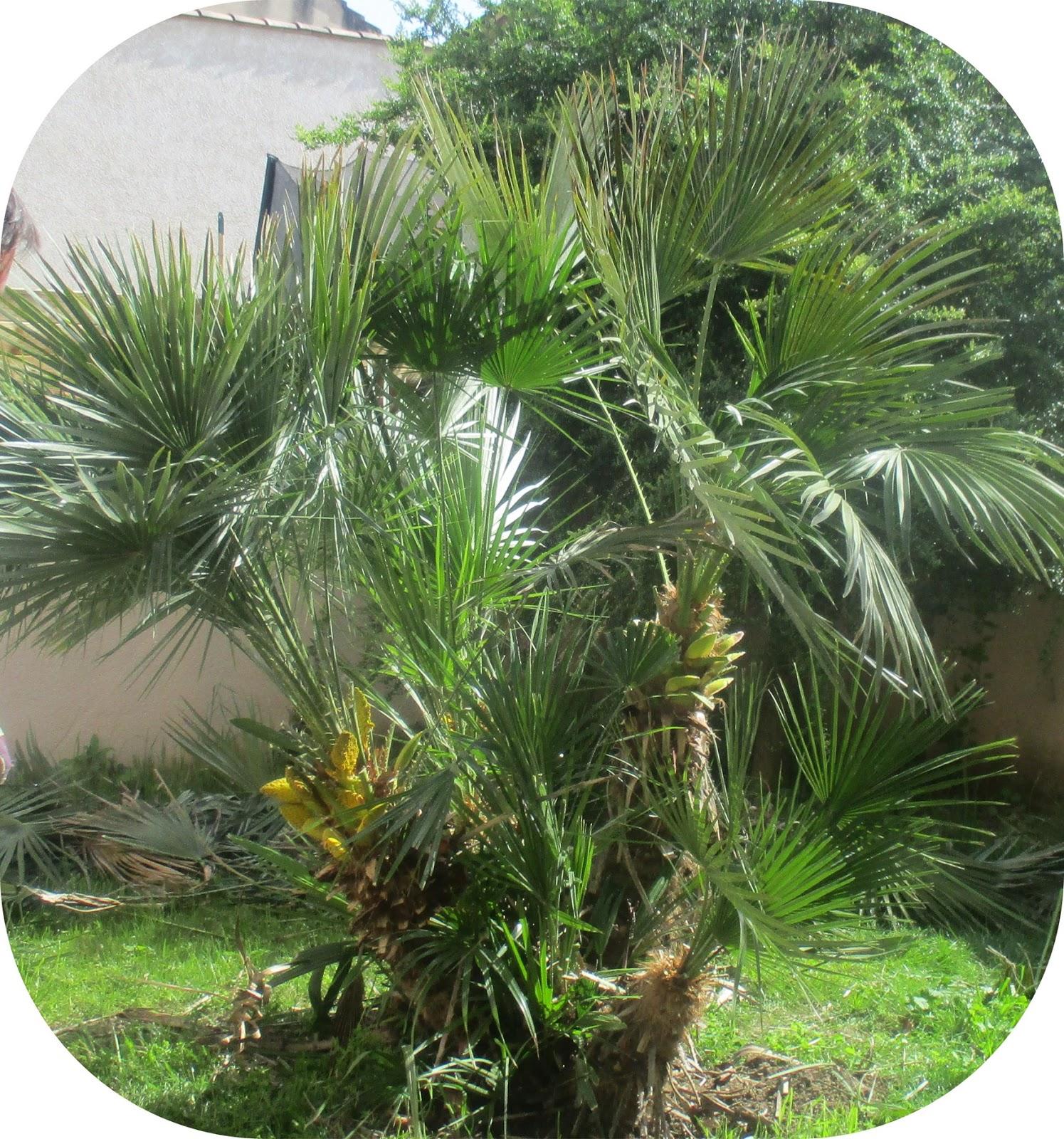 Pigeonnieresplendy2 palmier - Type de palmier ...