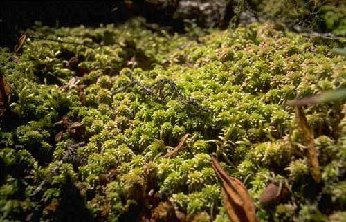 Peat moss là gì