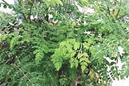 Manfaat daun kelor bagi kesehatan tubuh