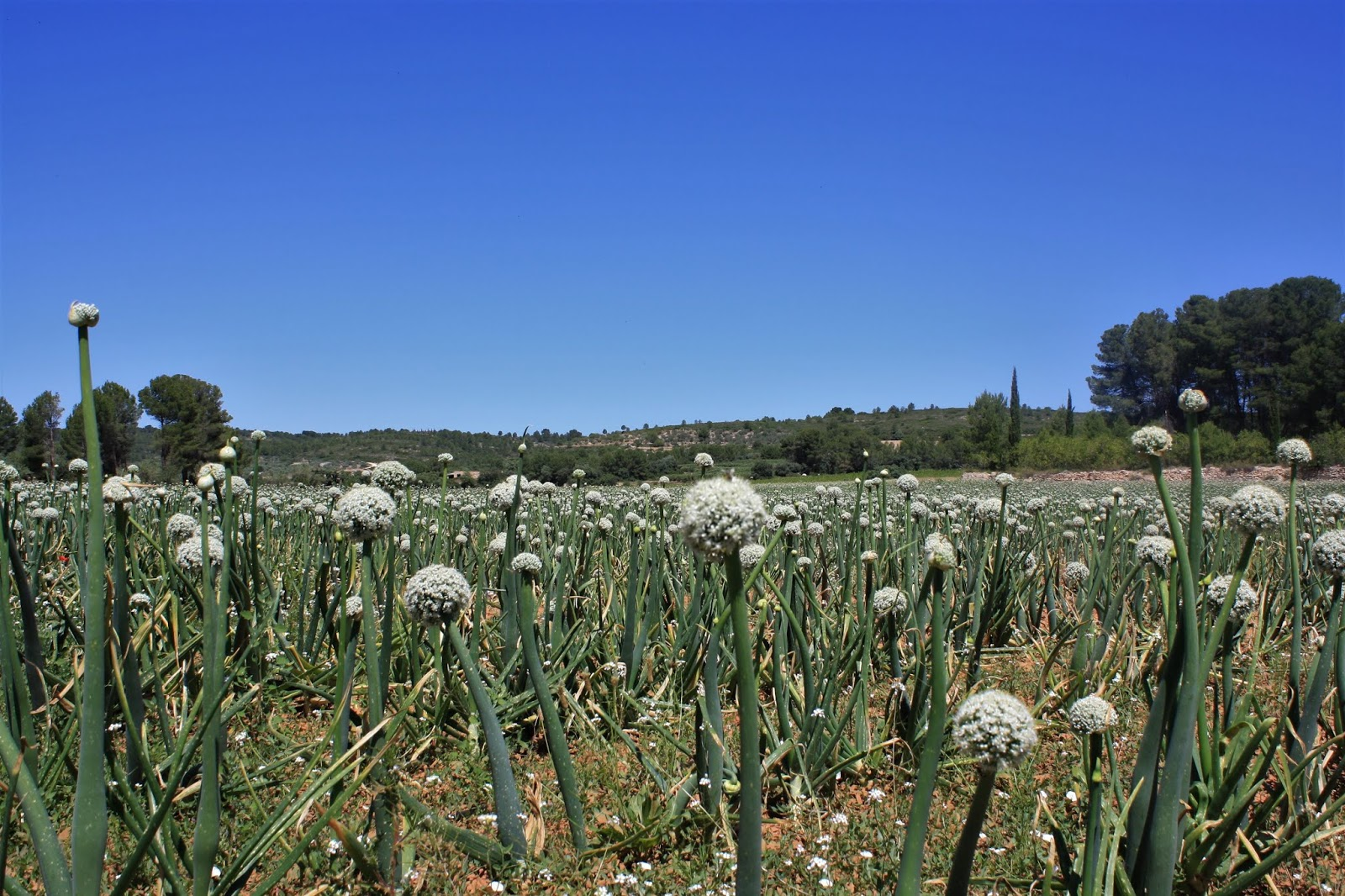 Garlic field in Sierra de Enguera, Valencia, Spain