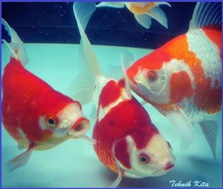 Ikan mas koki jenis tamasaba