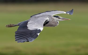Grey Heron in Flight Table Bay Nature Reserve Woodbridge Island, Milnerton