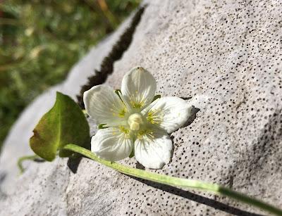 Parnassia palustris – Marsh Grass of Parnassus (Parnassia delle paludi)