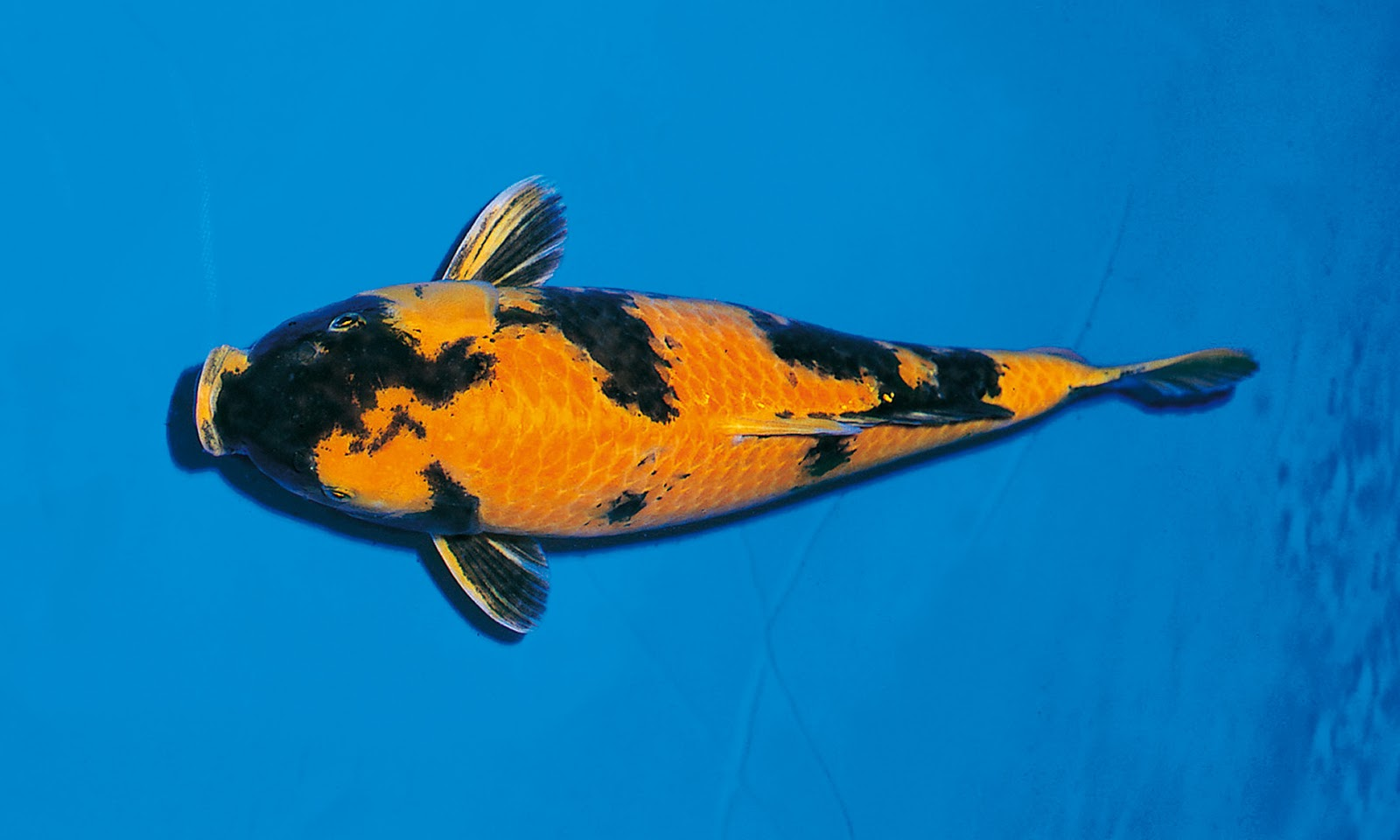 How koi become so expensive myrokan for Most expensive koi fish