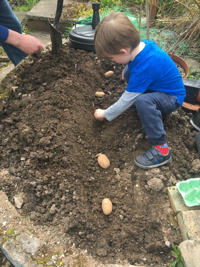 How-to-Grow-Potatoes-with-Children-boy-planting-potatoes-in-the-ground