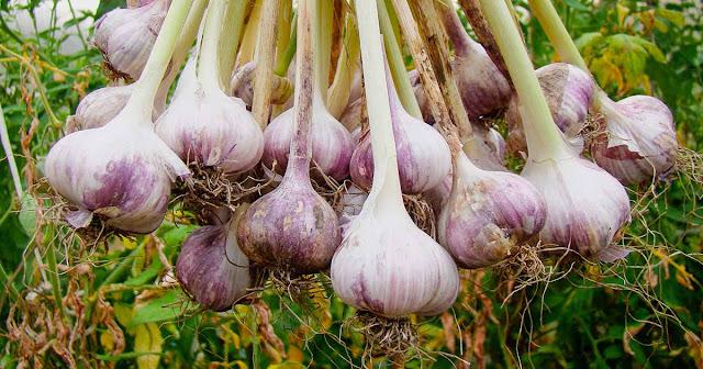 a bunch of freshly harvested garlic