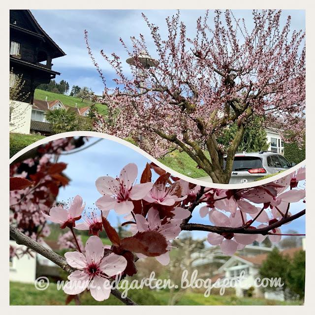 Pink blühender Baum