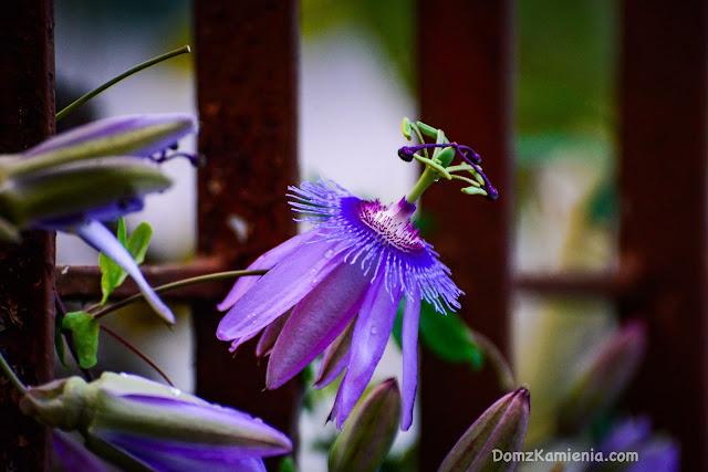 Passiflora - Dom z Kamienia
