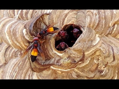 koloni vespa affinis tawon ndas vespa