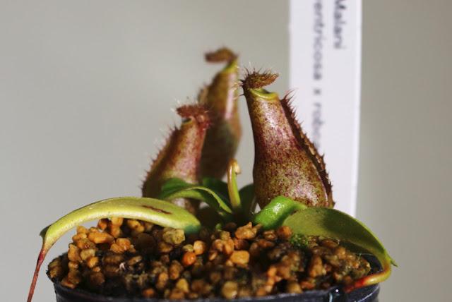 世界らん展日本大賞2018 東京ドーム 蘭 nepenthes malani ventricosa x robcantleyi  ネペンテス ベントリコーサ × ロブキャントレイの画像