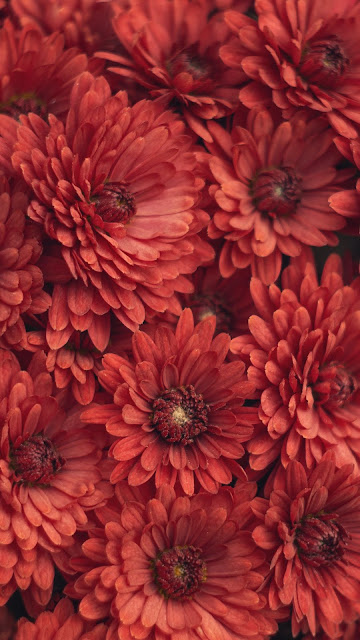 Flowers, Chrysanthemum, Red, Photography, Macro