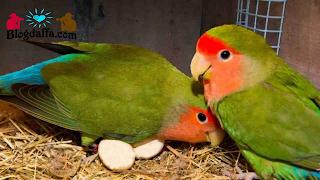 Lovebird mengerami telurnya
