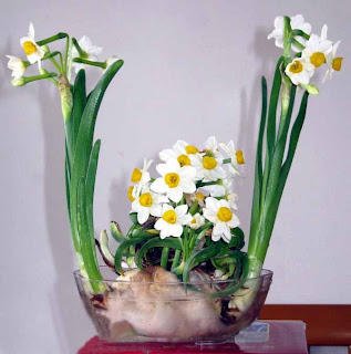 China Zhangzhou Narcissus Flower , Narcissus Flower for sale - China