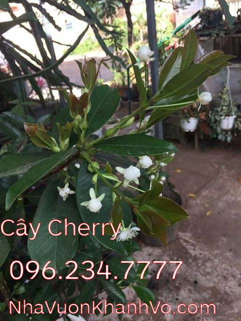 Mua bán rao vặt: Trồng cherry để làm đẹp vườn nhà Cay-cherry-khanh-vo-7