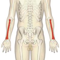 Radius (tulang lengan)
