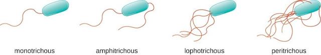 Berbagai jumlah flagel pada bakteri