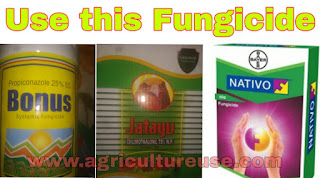 best fungicide for false smut of rice
