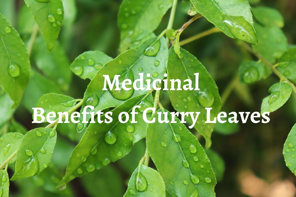 Medicinal benefits of Curry Leaves, Indian households use Curry leaves, natural remedy