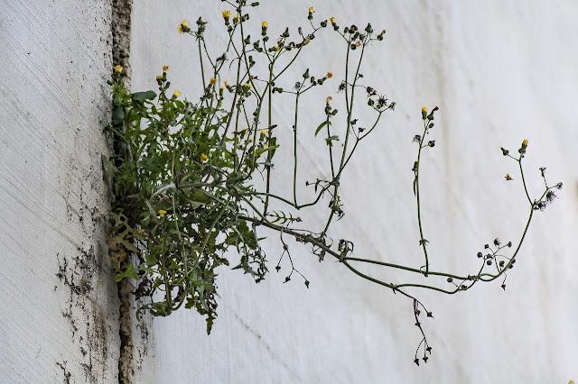 Resiliencia de una planta en entorno urbano