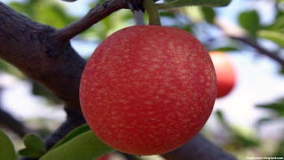 ximenia caffra fruit images wallpaper