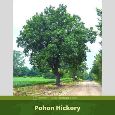 Ciri Ciri Pohon Hickory