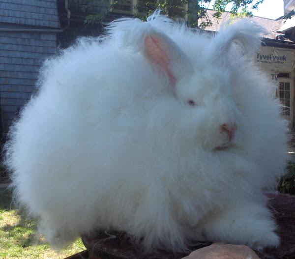 angora rabbit, about angora rabbit, angora rabbit pictures, angora rabbit history, angora rabbit facts, angora rabbit characteristics, angora rabbit breeds, angora rabbit variety, angora rabbit behavior, angora rabbit as pets, angora rabbit colors, angora rabbit fur, angora rabbit hair, angora rabbit info, angora rabbit information, angora rabbit origin, angora rabbit personality, angora rabbit size, angora rabbit wool, giant angora rabbit