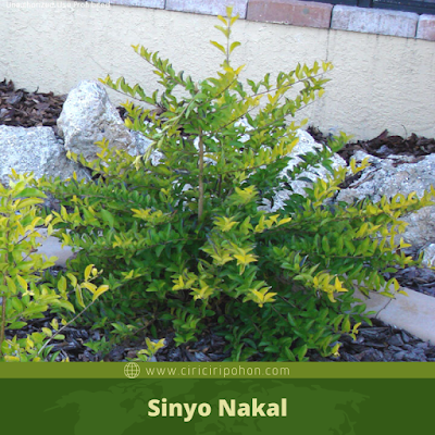 Sinyo Nakal
