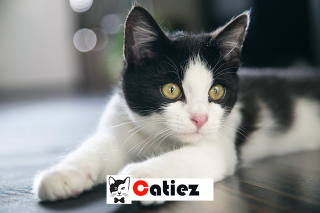 Black and white cat - all you want to know about Black and white cats
