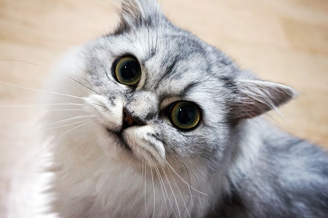 If you want to buy a cat .. 8 advices will help you in breeding
