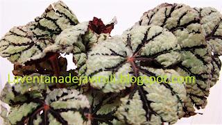 hojas-begonia-rex-fedor