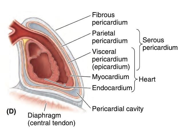 Epicardium