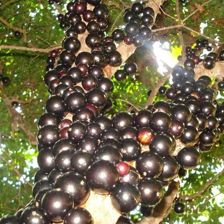 Tanaman Buah Anggur Pohon JABOTICABA Maluku