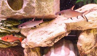 Bala Shark Food: What Do Bala Shark Eat? Can Bala shark eat flakes? How to Care for Bala Sharks?