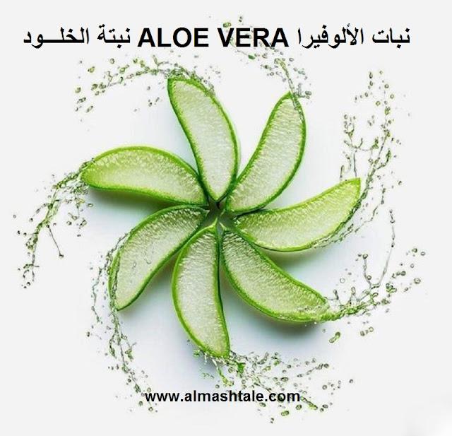 استعمالات نبات الألوفيرا aloe vera